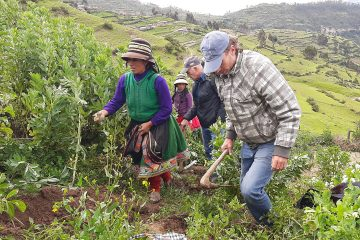 harveast potatoes in peru
